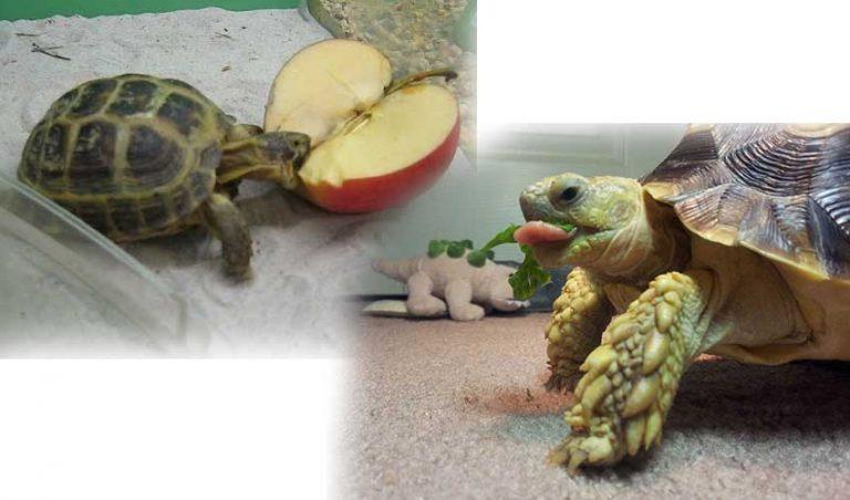 Кормление сухопутными черепахами в домашних условиях
