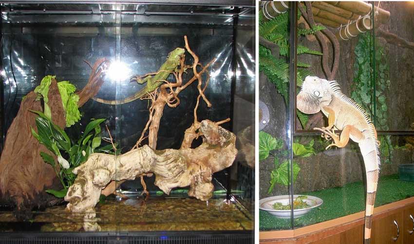 домашняя игуана