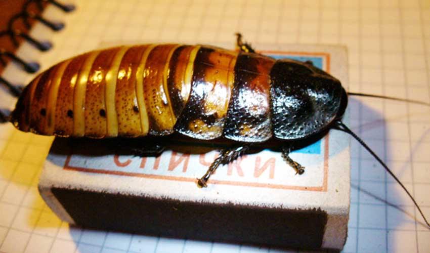Маданаскарский таракан