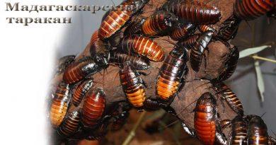 Мадагаскарский таракан