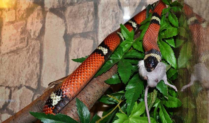 Синалойская молочная змея