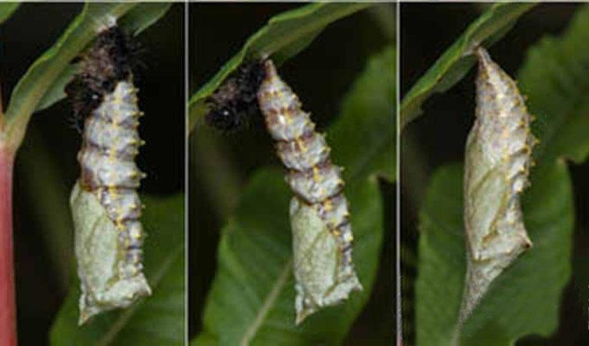 Бабочки разведение в домашних условиях 209