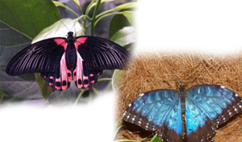 Разведение бабочек