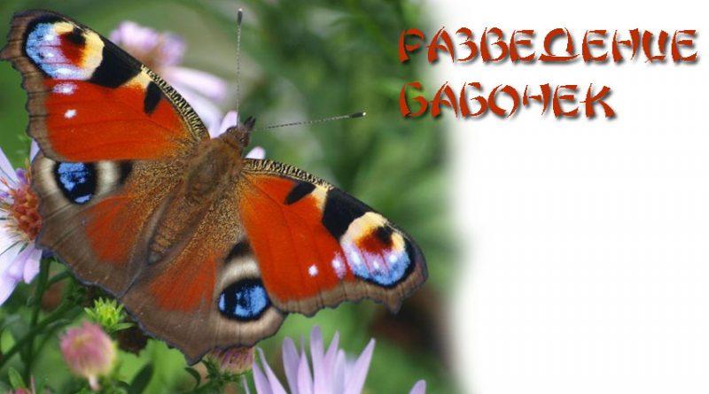 Бабочки разведение в домашних условиях 336
