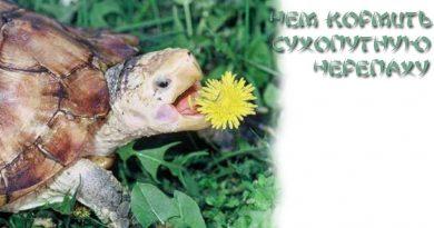 кормить сухопутную черепаху