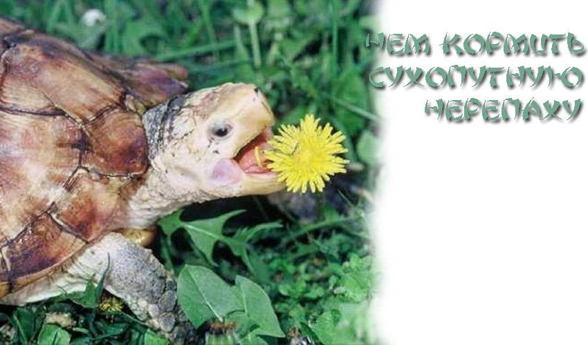 Кормление сухопутными черепахами в домашних условиях 924