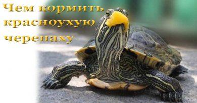 кормить красноухую черепаху