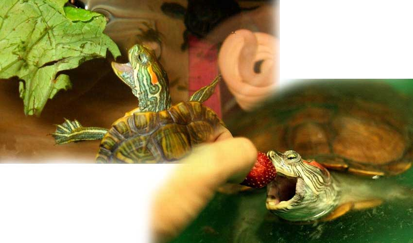 Красноухая черепаха уход содержание в домашних условиях