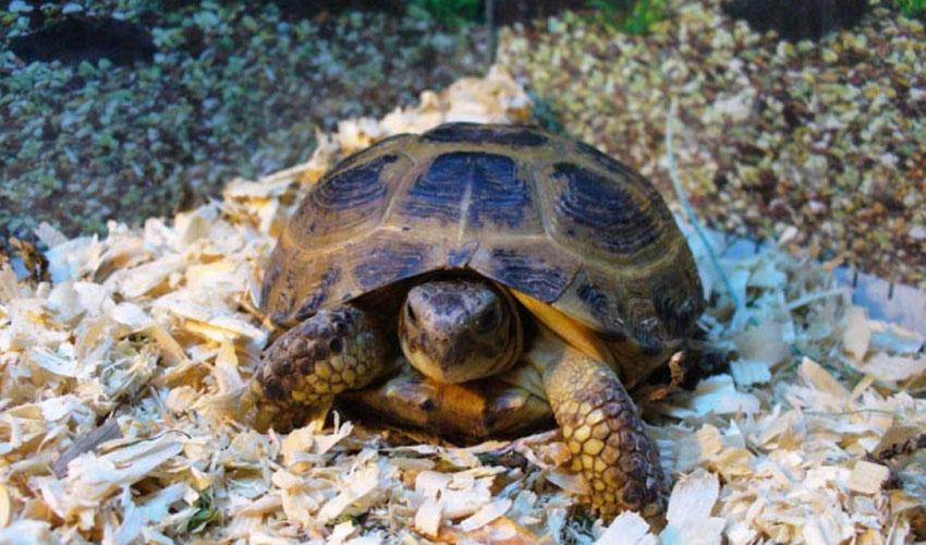 Срежнеазиатская черепаха