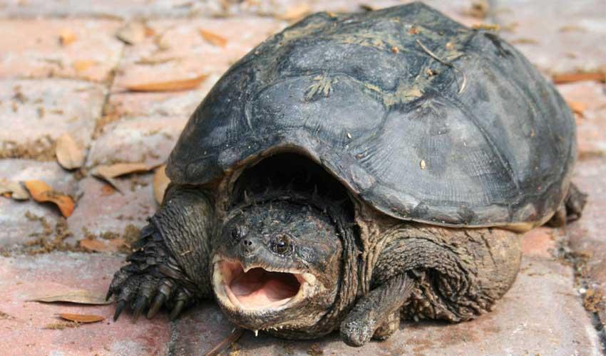 кайманоая черепаха