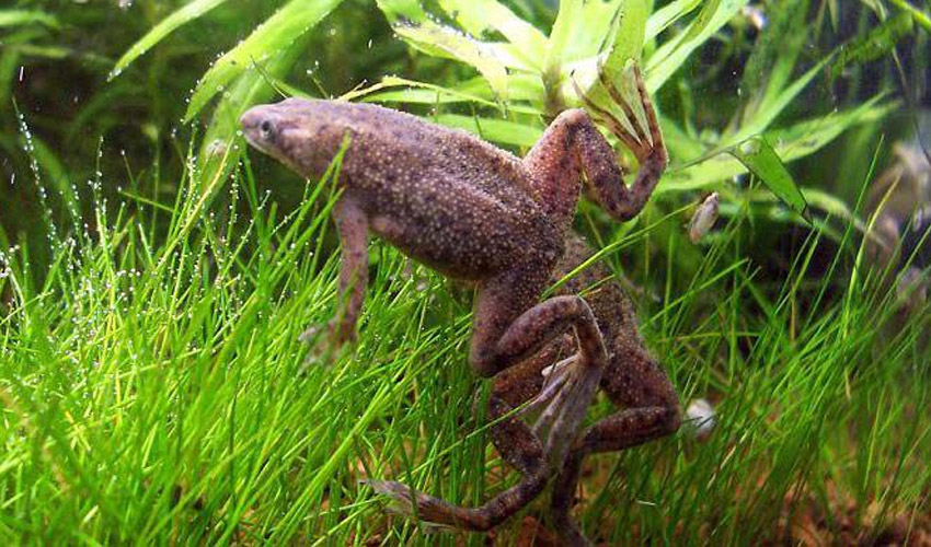 лягушка Hymenochirus boettgeri