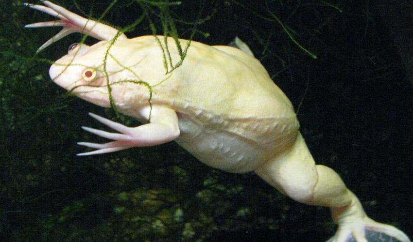 лягушка Xenopus laevis