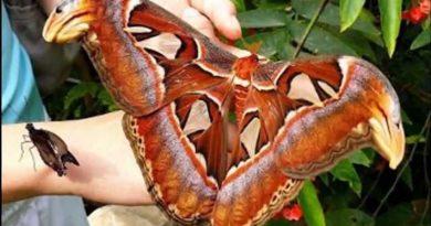 содержание бабочек