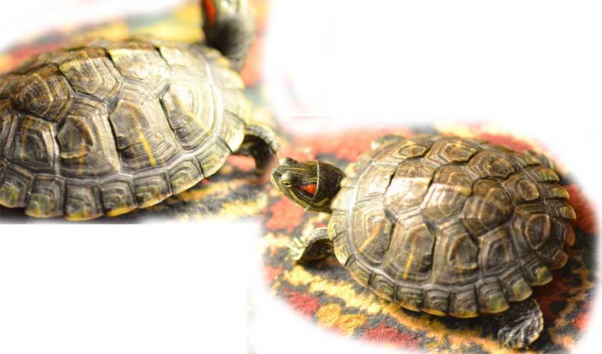 черепаха линяет