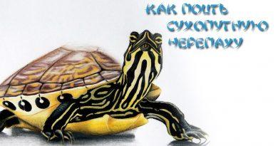 Как поить сухопутню черепаху