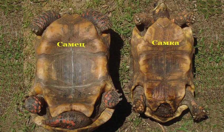 пол черепах