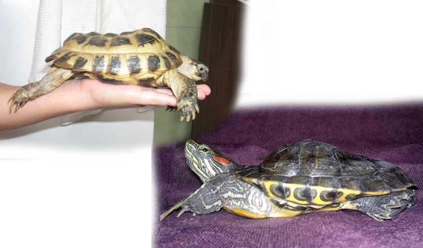 Симптомы и лечение рахита у черепах