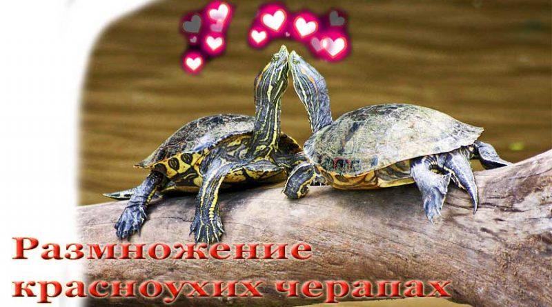 Размножение красноухих черепах Как плодятся красноухие черепахи в домашних условиях