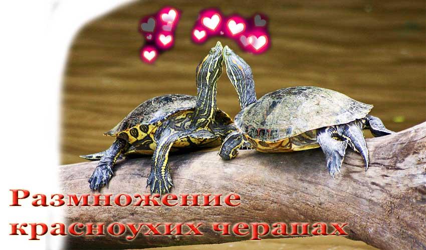 Как размножать черепах в домашних условиях 5
