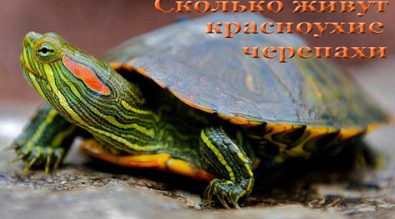 сколько живут красноухие черепахи