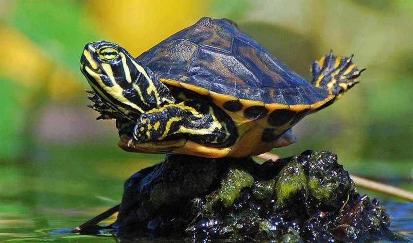 содержание черепах