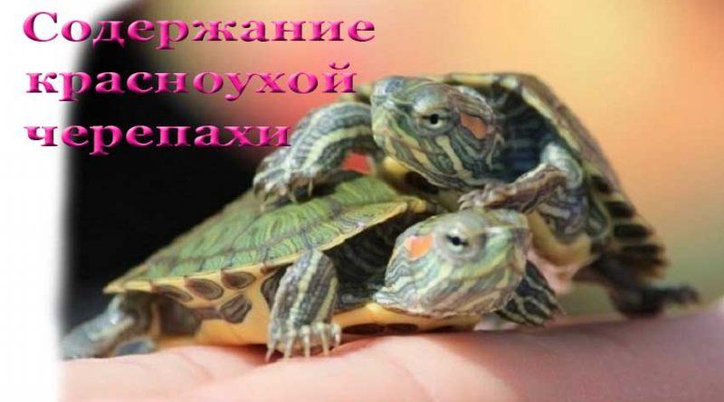 Сколько живут красноухие черепахи в домашних условиях 85