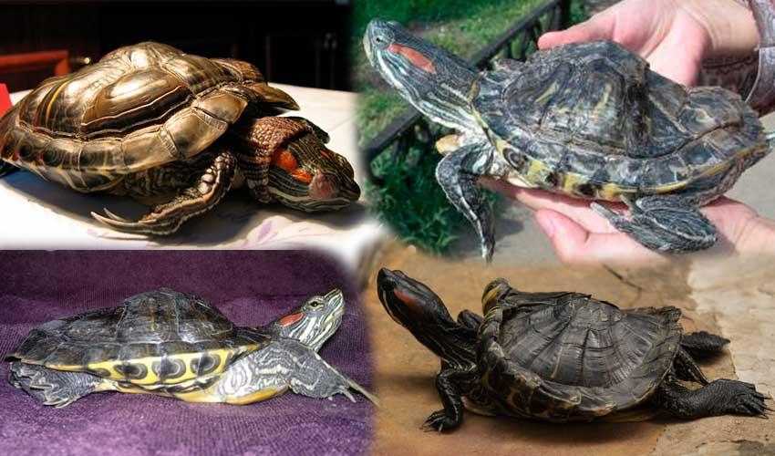заболевания красноухой черепахи