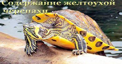 содержание желтоухой черепахи