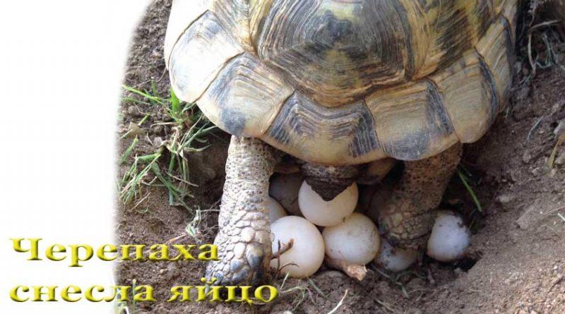 черепаха снесла яйцо