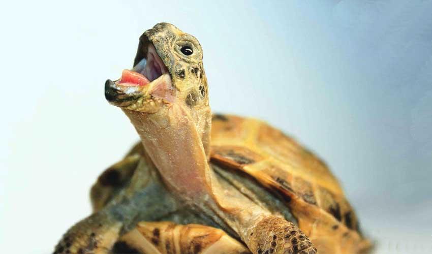 кусаются ли черепахи