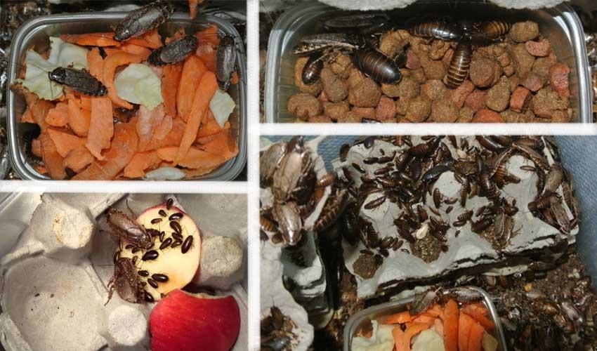 Мраморные тараканы - отличные питомцы и кормовой материал