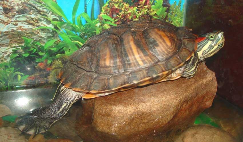 вода для черепахи