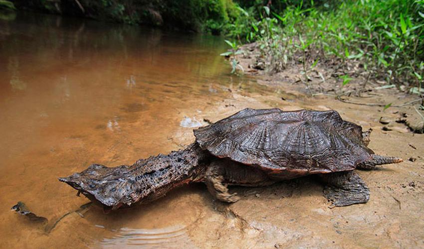 черепаха матамата