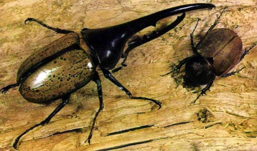 жук геркулес