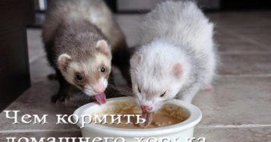 чем кормить хорька