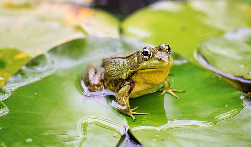 лягушка и жаба