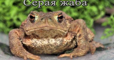 серая жаба