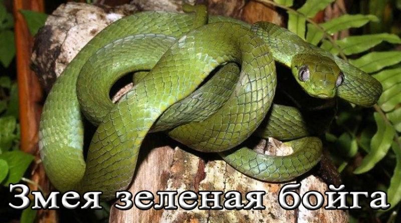 змея зеленая бойга
