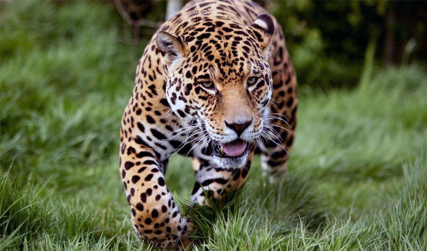 ягуар бежит