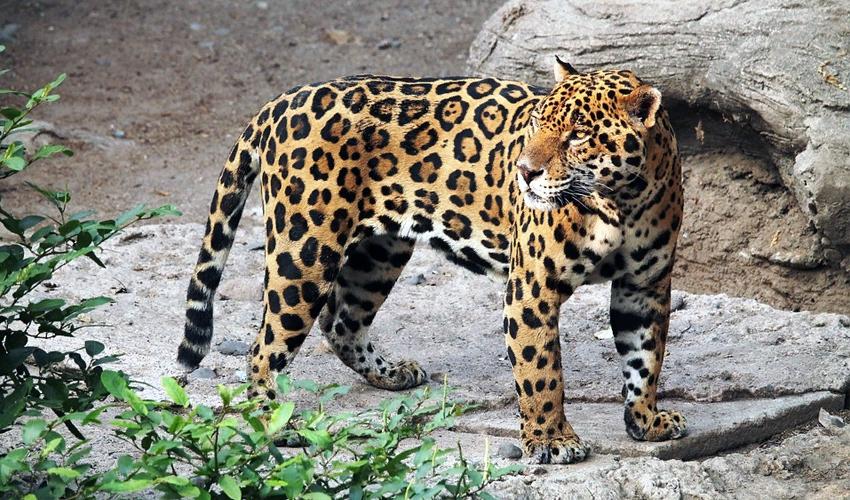 ягуар ареал обитания