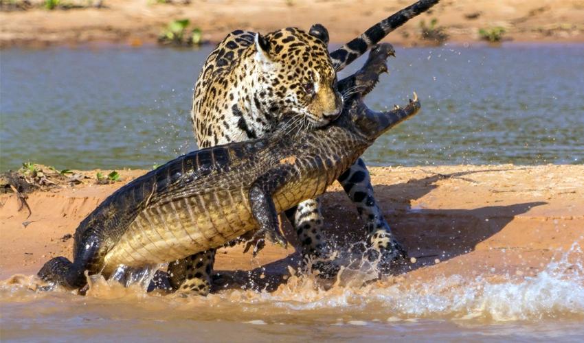 ягуар охотится на каймана