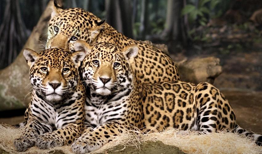 три ягуара