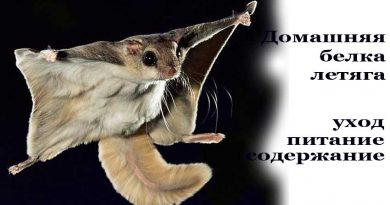 Домашняя белка летяга