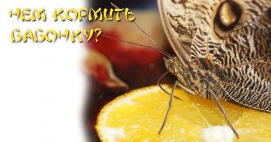 Чем кормить бабочку