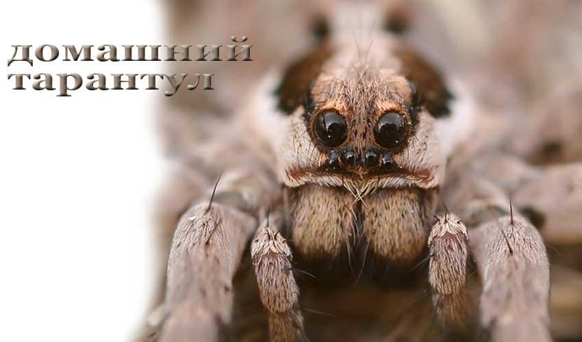 Размеры самого большого паука тарантула