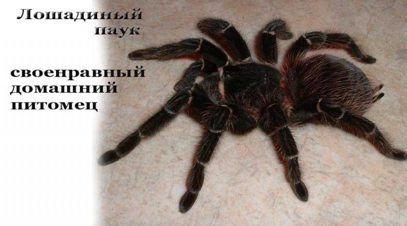 Лошадиный паук