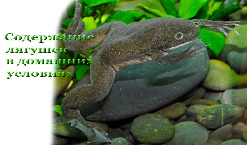 Сколько живут аквариумные лягушки