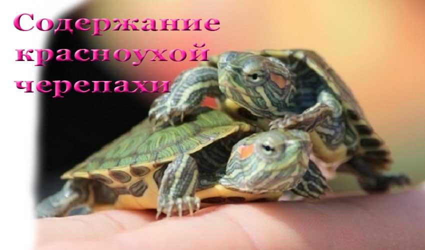 Уход и содержание красноухой черепахи в домашних условиях