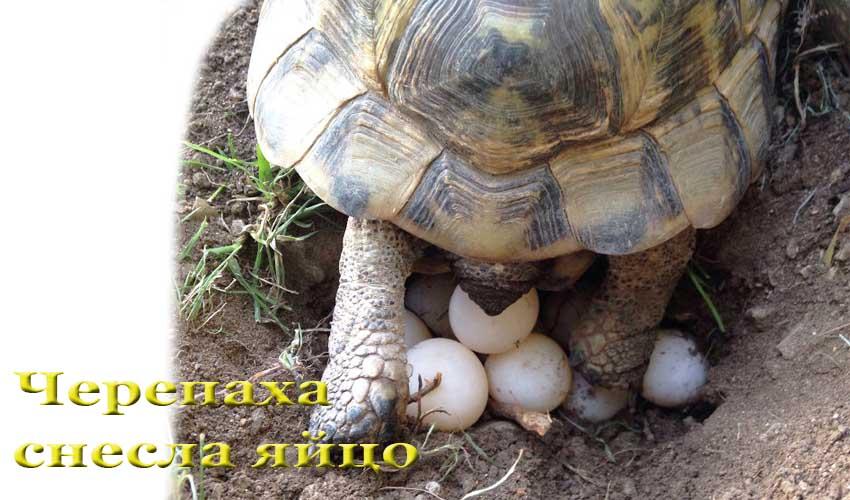 Как откладывают яйца красноухие черепахи