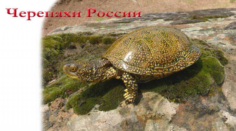 черепахи России